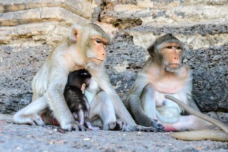 stargaze: Family monkey in Lopburi, Thailand. Stock Photo