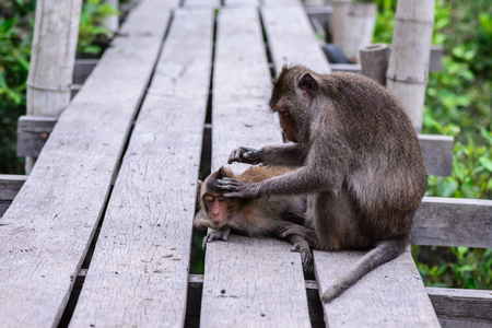 heed: Monkey checking parasite for its mate.