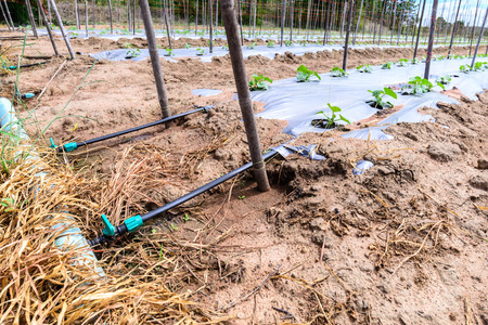 melon field: Water irrigation system on melon field.