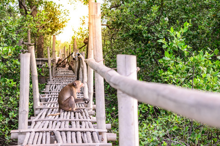 gaping: Crab-eating macaque monkey gaping on bamboo bridge in mangrove forest. Stock Photo