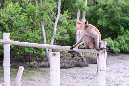 siting: Crab-eating macaque monkey siting on bamboo bridge in mangrove forest.