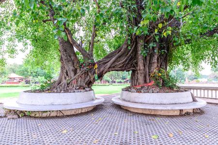 phra nakhon si ayutthaya: Twin bodhi trees in Ayutthaya historic park, Thailand. Stock Photo