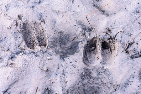national animal: Deer tracks on forest sand in Phu Kradueng national park, Loei Thailand.
