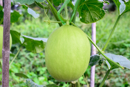 melon field: Young green melon hanging on tree in field.