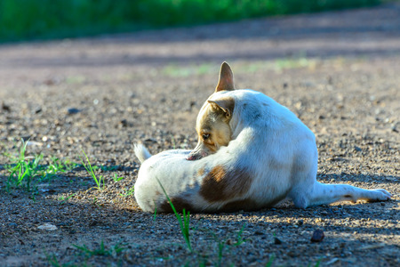 toyterrier: White dog self cleaning tick and flea.