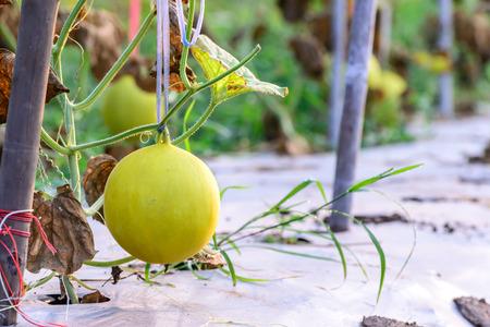 melon field: Yellow melon hanging on tree in field.