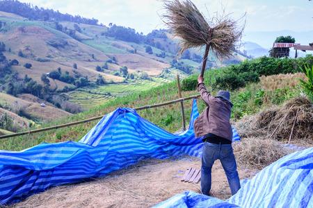 bong: Farmer threshing near  his  terraced rice field at Ban Pa Bong Piang, Mae Jam in Chiang Mai, Thailand. Stock Photo