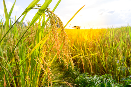 rice harvest: Close up of golden rice paddy in rice field.