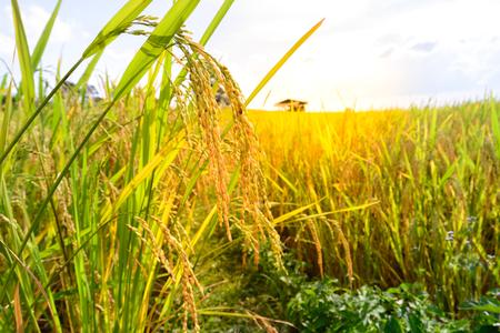 Close-up van de gouden rijst padie in rijst veld. Stockfoto