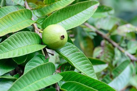 Apple Guava or Common Guava, Psidium Guajava, Goiaba or Guayaba.