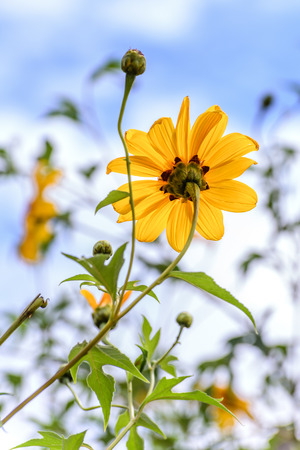 magnoliopsida: Mexican sunflower or Japanese sunflower blooming against blue sky. Stock Photo