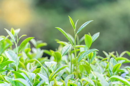 the freshness: Freshness tea top in plantation.