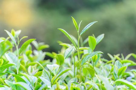 frescura: Superior té Frescura en la plantación. Foto de archivo