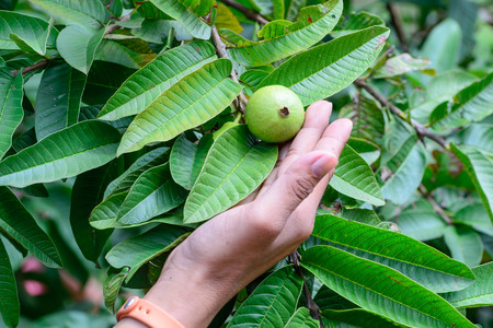myrtales: Hand holding Apple Guava or Common Guava, Psidium Guajava, Goiaba or Guayaba. Stock Photo