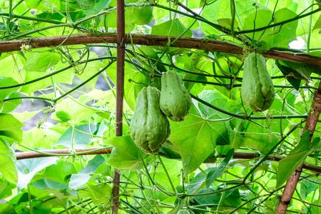 chayote: Chayote fruits hang on trellis.