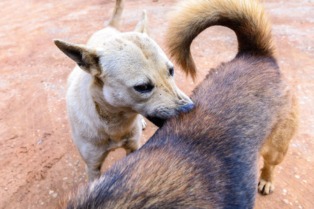 toyterrier: White dog cleaning tick and flea to buddy. Stock Photo