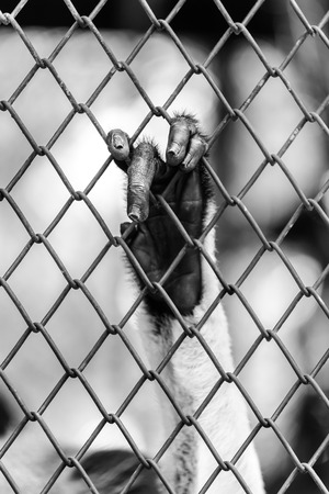 incarcerate: Black and white of Monkey hand touching a cage, lack of independence.