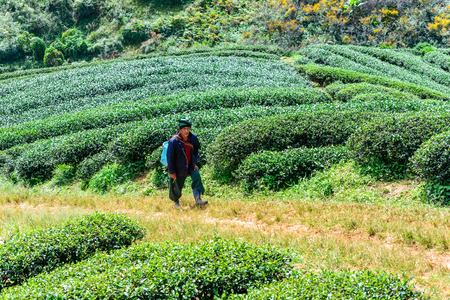 tribes: CHIANG MAI, THAILAND - 2015 November 05: Unidentify Palaung peoples in tribal clothing and harvesting a tea top, Palaung tribes live in northern of Thailand.