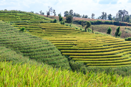 mai: Terraced rice field with mountain background at Ban Pa Bong Piang, Chiang Mai in Thailand.