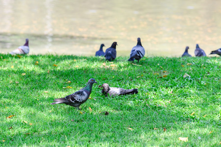 sward: Pigeons in public park near pond.