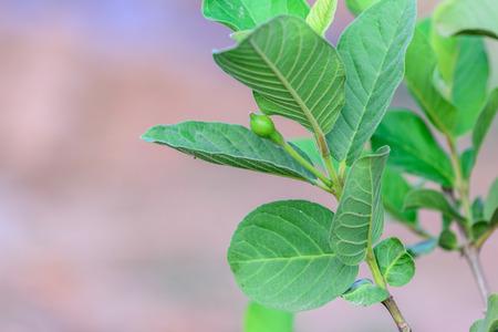 myrtales: Little flower of Apple Guava or Common Guava, Psidium Guajava, Goiaba or Guayaba.