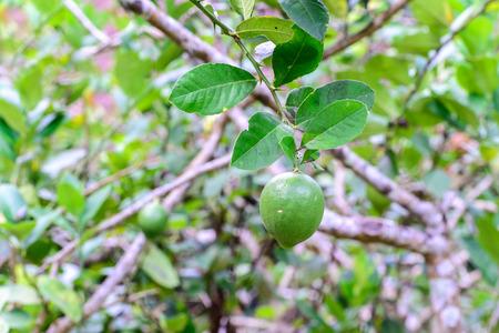 freshness: Freshness green lime fruit on tree in plantation.