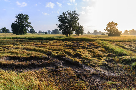 muddy tracks: Tractor harvester tracks in muddy rice field. Stock Photo