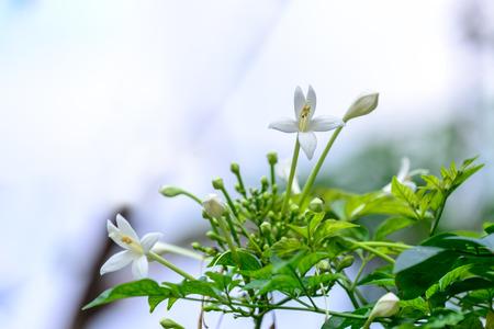 tree jasmine: Millingtonia hortensis, tree jasmine or Indian cork tree.