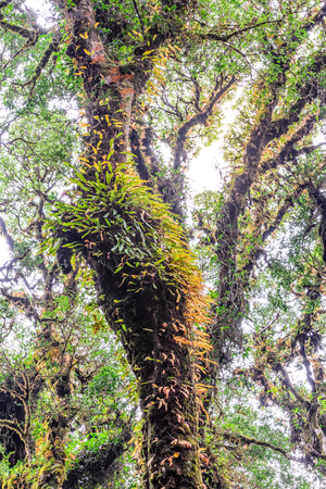 national plant: Moss and fern plant coverd on tree trunk at Doi Inthanon National Park in Chiang Mai, Thailand.