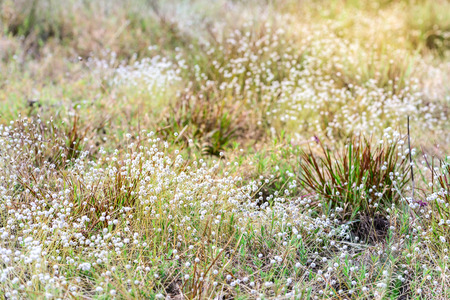 eriocaulaceae: Beautiful wild flower, Eriocaulon henryanum Ruhle. Stock Photo