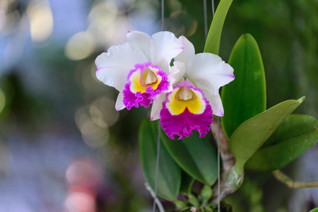 allied: Beautiful orchid flowers are blooming, Cattleya & allied genera.