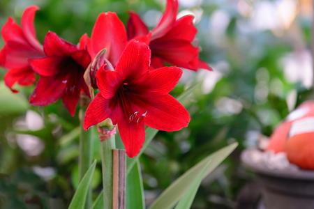 hippeastrum flower: Hippeastrum johnsonii bury red flower.