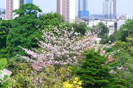 rosea: Beautiful pink flowers in city, Tabebuia rosea.