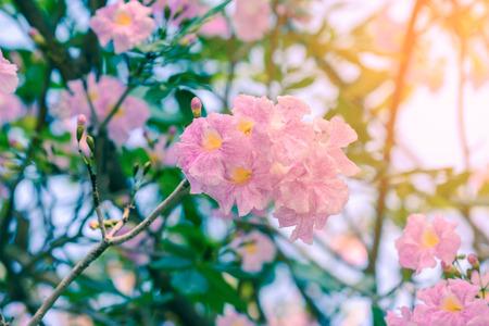 rosea: Beautiful pink flowers with sunlight, Tabebuia rosea. Stock Photo