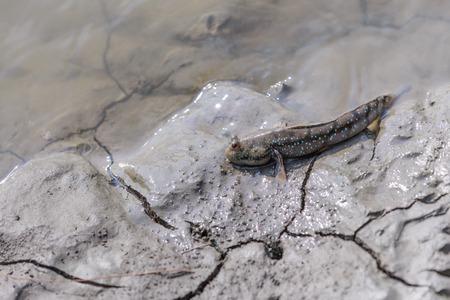 mudskipper: Mudskipper in wetlands.