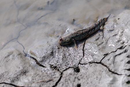 Mudskipper in wetlands.
