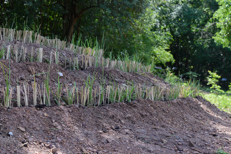 Vetiver grass for landslide protection and restore to fertile soil. Stok Fotoğraf - 104173540