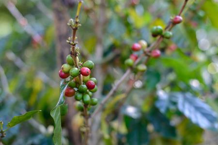 Fresh organic coffee bean. Stock fotó