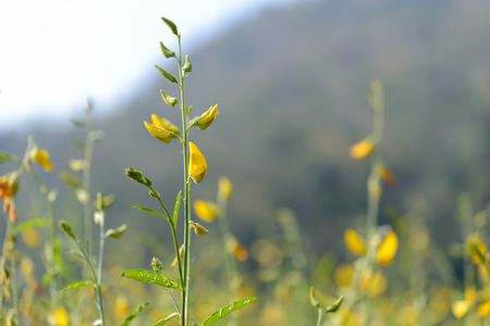 Beautiful sunhemp flower in countryside.