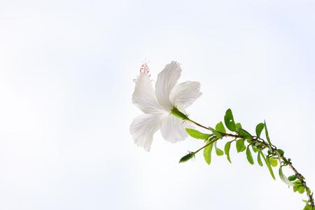 Common Hibiscus flower isolated on white. Banco de Imagens