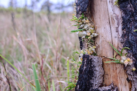 Wild orchid growing on fire burned pine tree.
