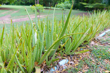 Aloe vera plant, alternative herb for hair and skin treatment.