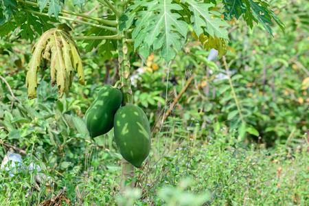 Papaya fruits in plantation.