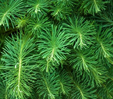 Coniferous background for Christmas design photo