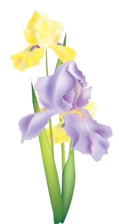 weegbree: Illustratie van drie iris bloemen voor het ontwerp Stock Illustratie