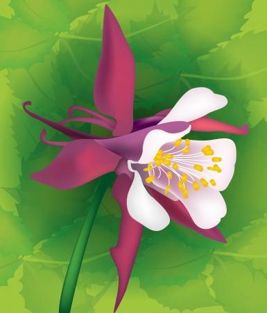 aquilegia: Beautiful vector flower aquilegia with leaves for design Illustration