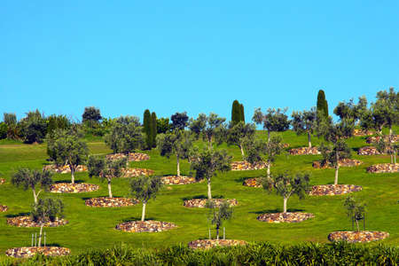 A group of well groomed Olive trees on a grassy hill in New Zealand.