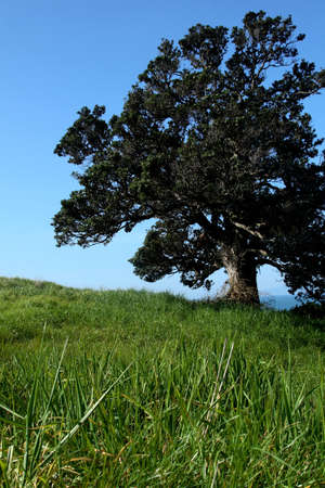 A lonely old tree in a green grass pasture.