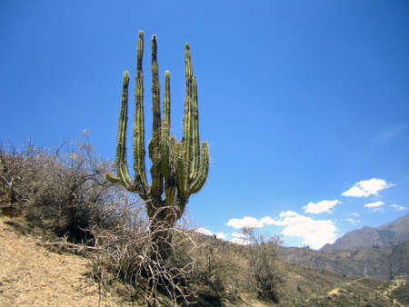 An old cactus in Colca del canyon, Peru.