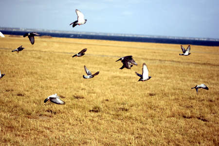 A flock of pigeons flying above a dry grass field.